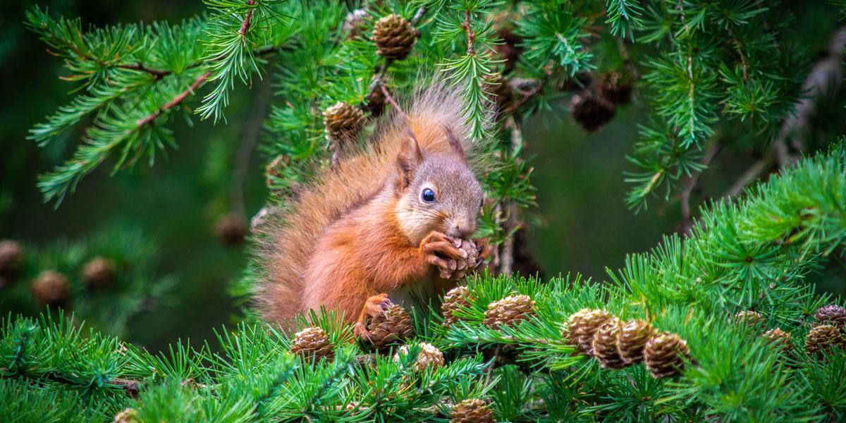 Vjeverica na drvu bora